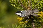 Coal Tit (Parus ater)